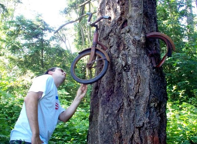 Starving: An American tree has eaten this bike over the course of several decades