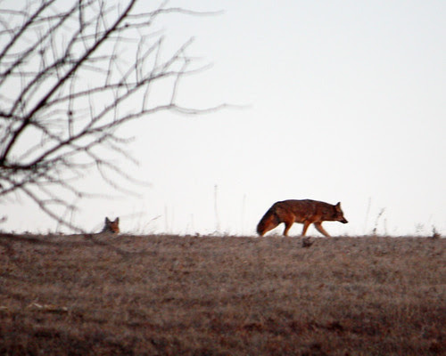 A couple of coyote's watching