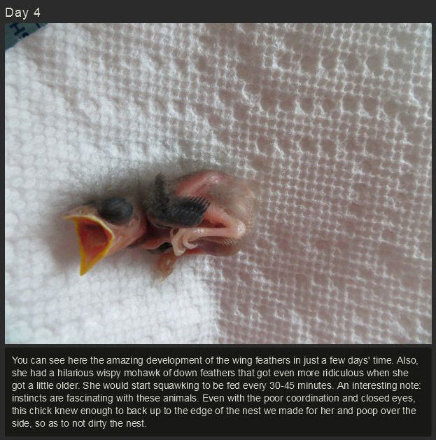 miniature_baby_songbird_rescued_and_raised_by_hand_640_high_06