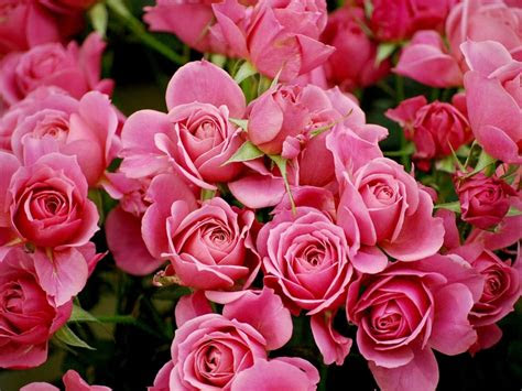 pink rose wallpapers hd pictures flowers  hd