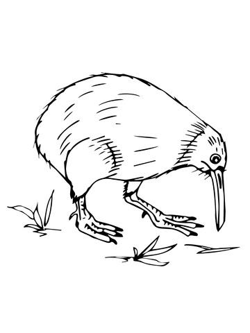 Dibujo De Kiwi De Nueva Zelanda Para Colorear Dibujos Para