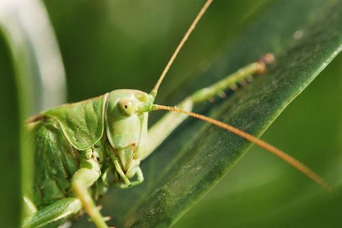 Grasshopper (BIG)