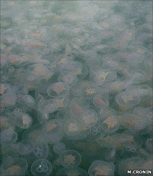 Moon jellyfish (Image: Michelle Cronin/Coastal & Marine Resources Centre)