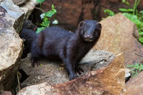 Art Lander's Outdoors: American mink, long tailed weasel are small furbearers with big attitudes