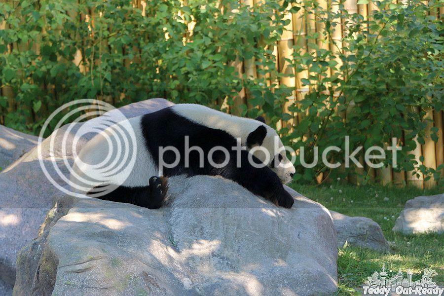 Panda Toronto Zoo