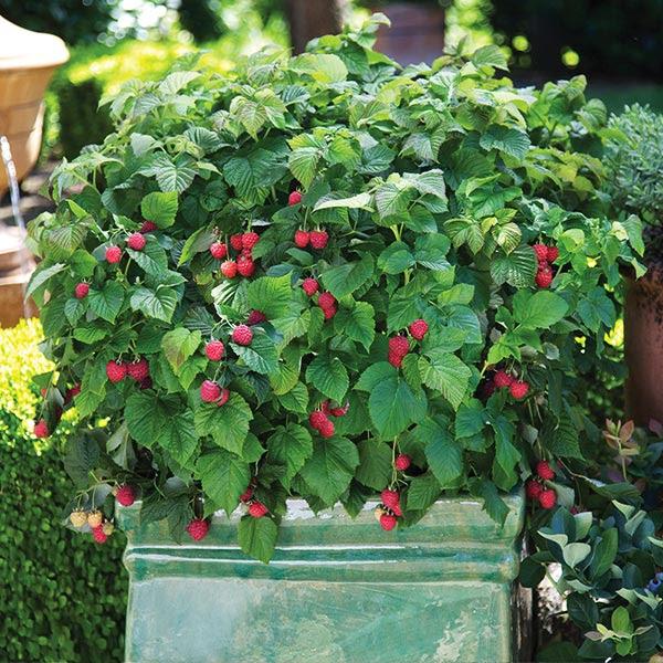 Bushel And Berry Raspberry Shortcake Bushes For Sale Fastgrowingtrees Com