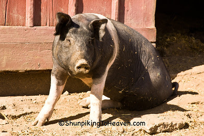 Pig in the Barnyard, Franklin County, Iowa