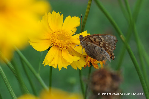 'Mayfield Giant' coreopsis & tawny emperor