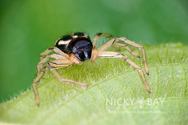 Crab Spider (Camaricus maugei) - DSC_2954