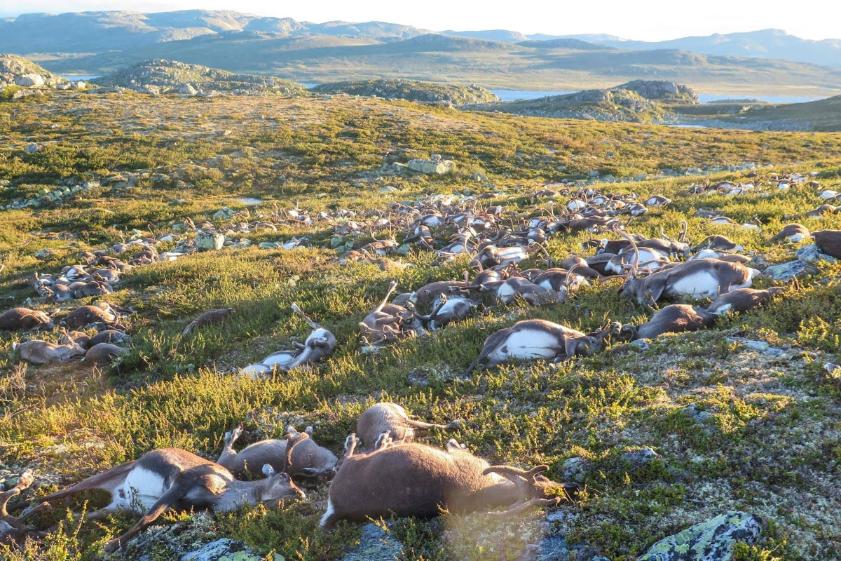 Hosea 4:1-3 On Steroids: 323 Reindeer Killed By Lightning In Central Norway