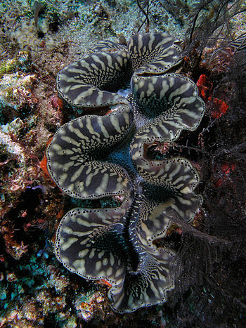 English: Tridacna giant clam in Komodo Nationa...