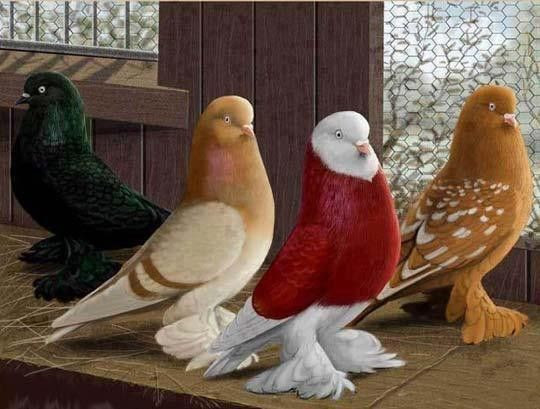 les pigeons lahore