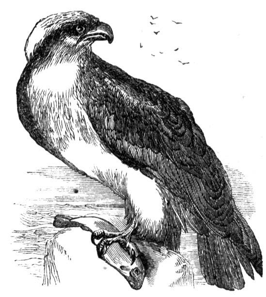 77 Osprey Bird Coloring Pages , Free HD Download