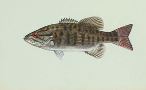 Smallmouth bass (Micropterus dolomieu)