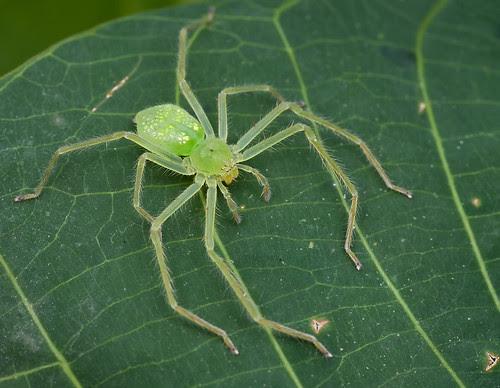 green huntsman spider IMG_8808merged copy
