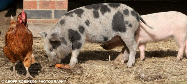 A 'fully grown' micro pig, which grow to just 14 inches tall