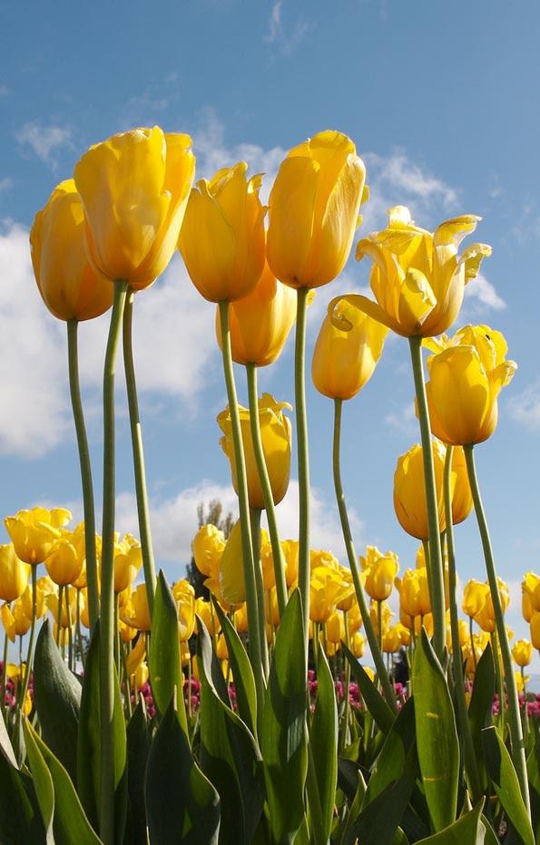 Galería de Chris Pierri - Tulips