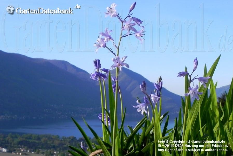 Hyacinthoides hispanica Habitus blühend
