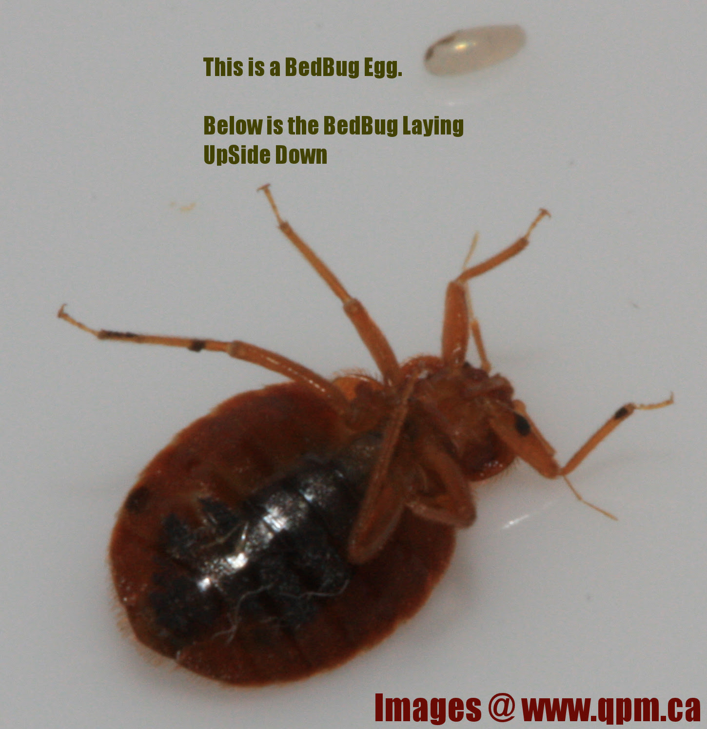 Bed Bug Eggs On Skin Bangdodo