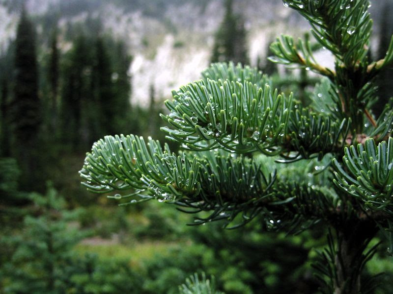 File:SubalpineFir 3320.jpg