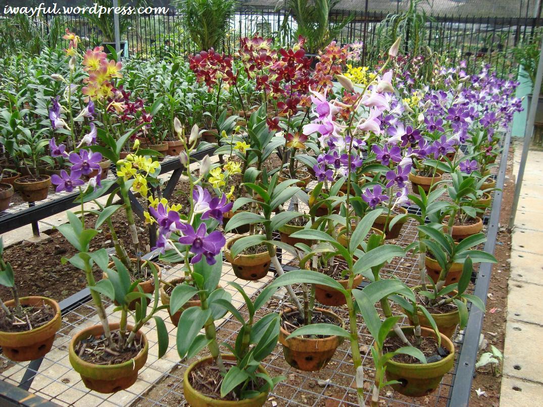 Pengin Tanam Bunga Anggrek Di Rumah Berikut Cara Perawatannya