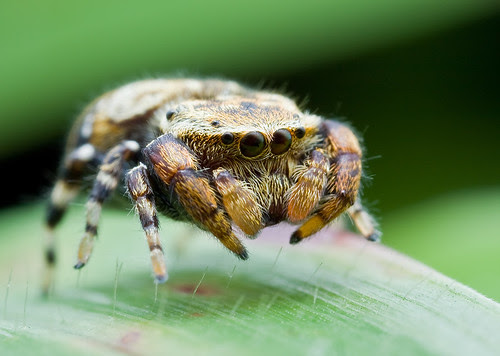 270ex on fmmb sample shot jumping spider IMG_1713 copy