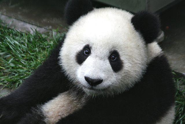 PandaCubWolongSichuanChina