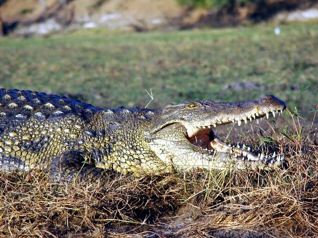 DSC09380 Nile Crocodile open mouth