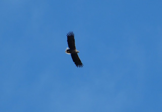 27021 - White Tailed Sea Eagle, Isle of Mull