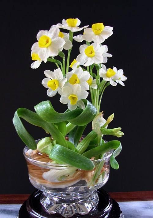 Hướng dẫn cách gọt thủy tiên để hoa nở đúng 30 Tết 1