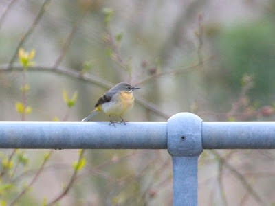 Grey Wagtail - female