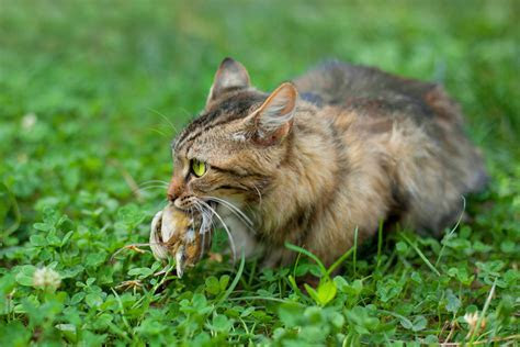 Sorry, Cat Lovers, Cats Are An Invasive Species Too   Gizmodo Australia
