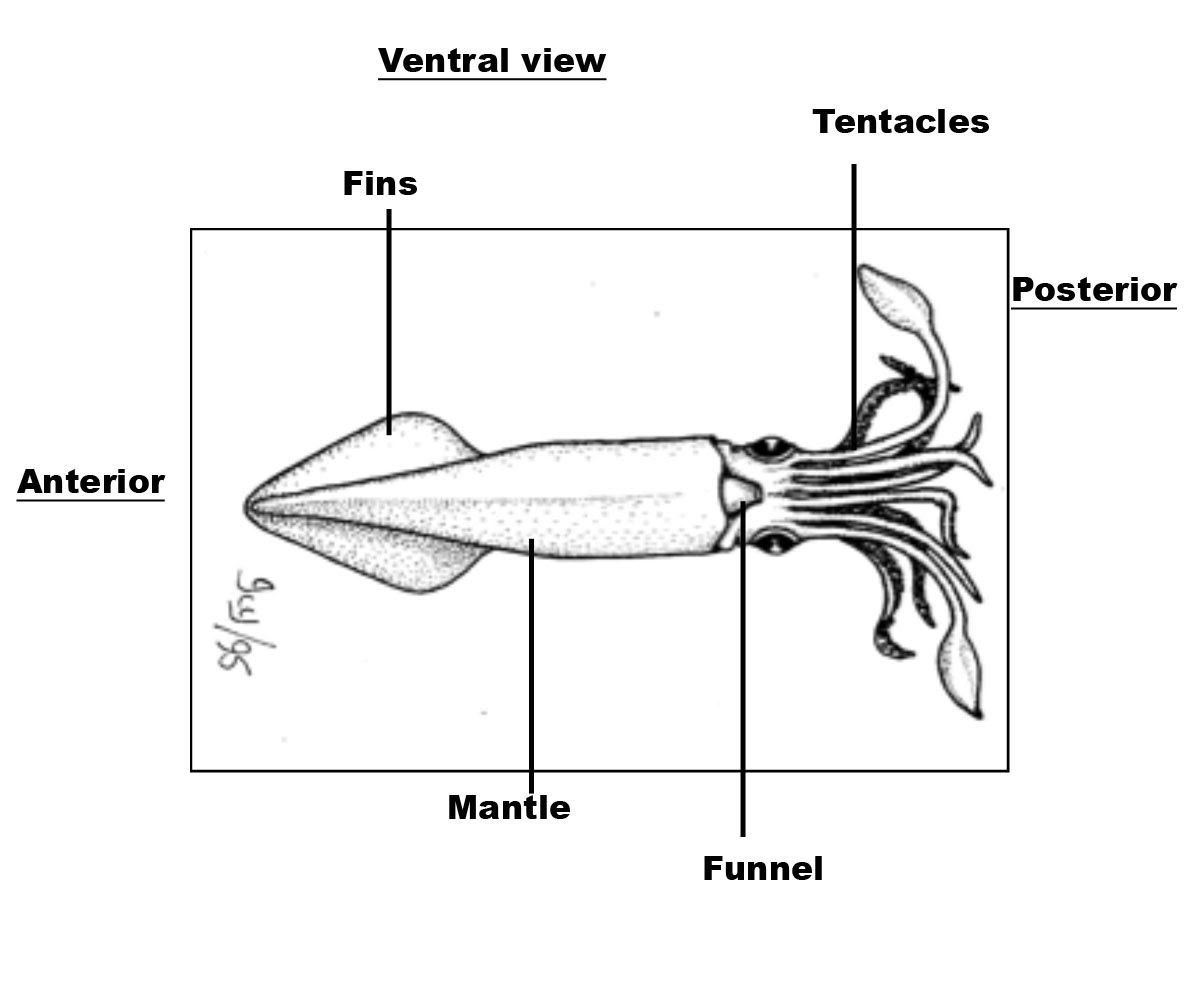 squid exterior