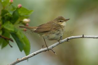Blyth's Reed Warbler - Kazakistan_S4E0659