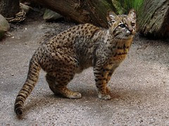 leopardus geoffroyi