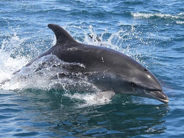 Golfinhos da espécie 'nariz-de-garrafa' foram vistos na orla da Zona Sul na manhã desta segunda-feira (31). (Foto: Alexandre Azevedo / MAQUA/UERJ / Divulgação)