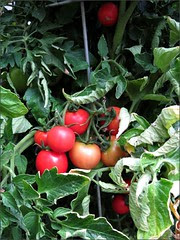 Ripening tomatoes
