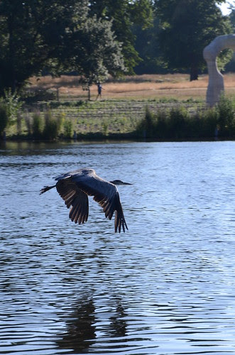 Hyde Park Heron takes flight over the Serpentine