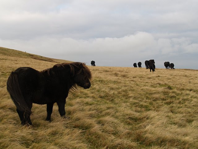 File:Fell ponies, West Fell.jpg