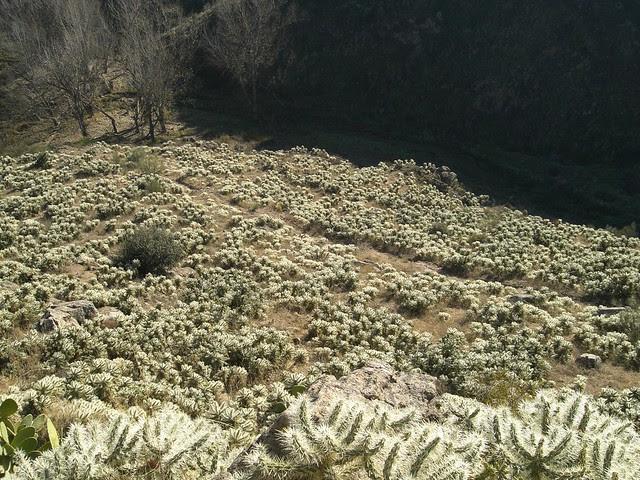 Invasión por Cylindropuntia rosea en el Cerro de la Ermita de la Cabeza de Toledo