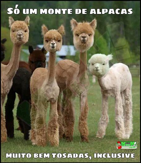 Blog Viiish - Uma imagem nada demais sobre Alpacas