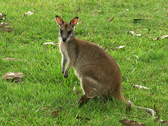 Agile Wallaby (Macropus agilis)