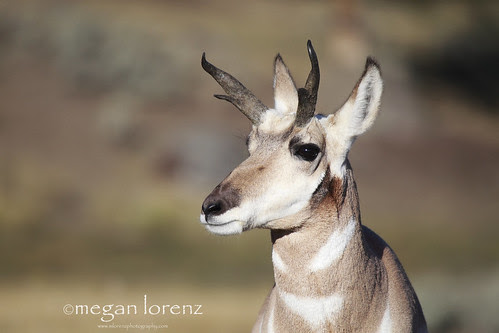 Pronghorn by Megan Lorenz