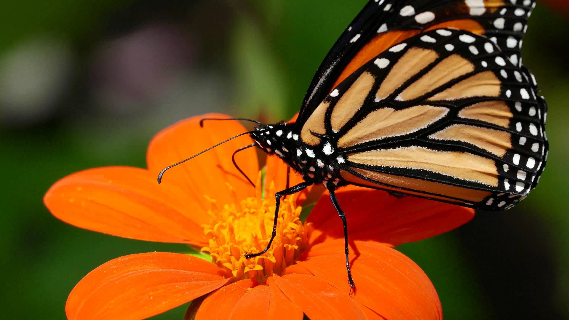 4K Butterfly Wallpapers High Quality | Download Free