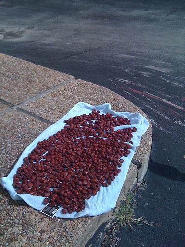 Tomatoes drying on a sidewalk