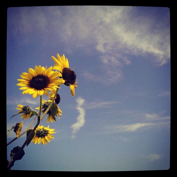 Sunflowers. #photodiary