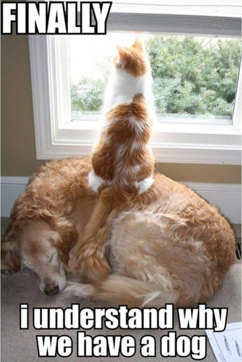golden retriever, gentle dog, cats rule, cat and dog friends