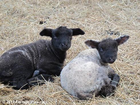 Close up lamb cute 1 - FarmgirlFare.com