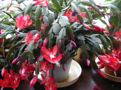 http://greenthumb.cocolog-nifty.com/garden/Zygocactus6.jpg