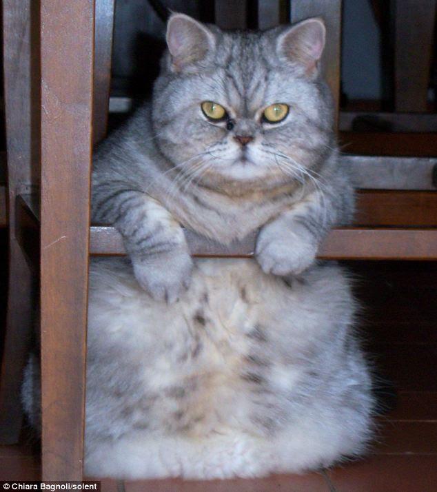 Unduh 101+  Gambar Kucing Anggora Gendut Terbaik Gratis